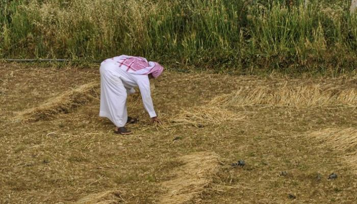 السعودية توقف زراعة الأعلاف